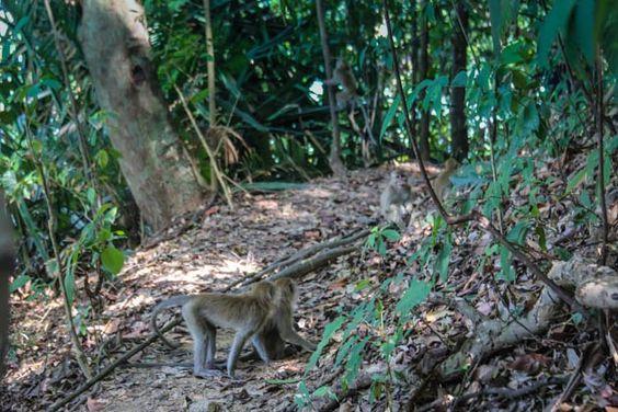 Crab-Eating Macaques Penang National Park Monkey Beach Trek Malaysia #crabeatingmacaques #penang #monkeybeach #Malaysia