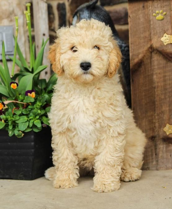 Cody Mini Goldendoodle Puppy For Sale In Lewisburg Pa Lancaster Puppies Goldendoodle Puppy Mini Goldendoodle Puppies Puppies