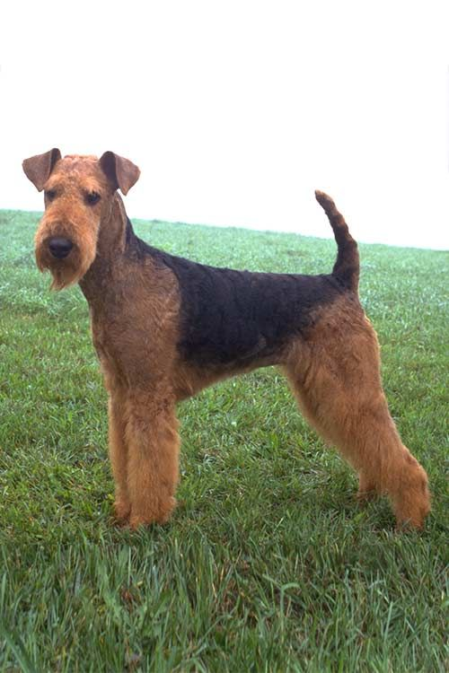 Airedale Terrier Dog Breed Information Airedale Terrier Akc Dog