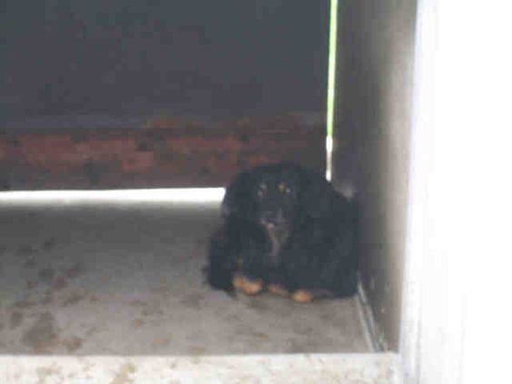 Dachshund at OC California.  OUT OF TIME.  Please share.  www.PetHarbor.com pet:ORNG.A1267969