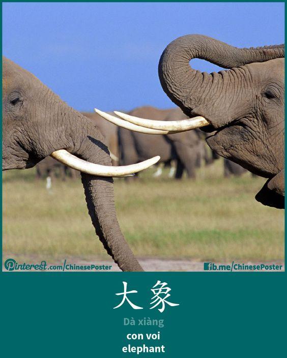 大象 - dà xiàng - con voi - elephant