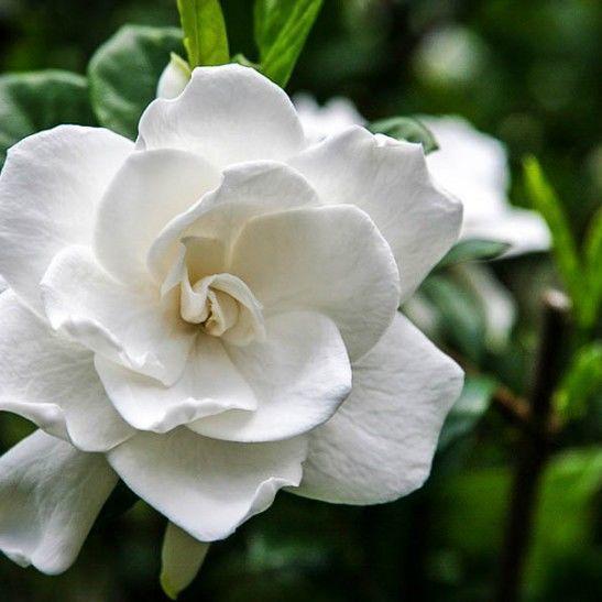 Frost Proof Gardenia For Sale Online The Tree Center Fragranceforsaleonline Flower Landscape Fall Flowers