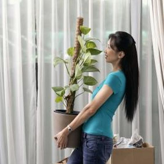 Pothos is an easy-care houseplant that can grow extensive vines.