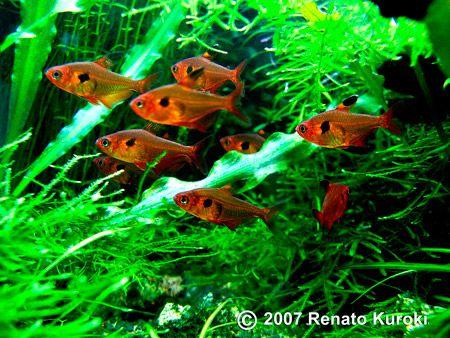Hyphessobrycon sweglesi: red phantom tetra