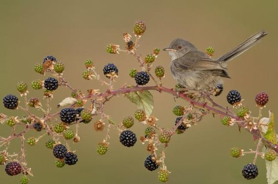 harvestheart:  Marmora's Warbler, Central Sardinia, Italy by Pietro Fadda, Endemic species of Sardinia island,
