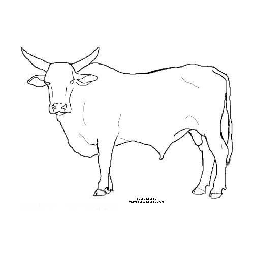 Bull Cow Coloring Pictures In 2020 Bucking Bulls Bull Pictures