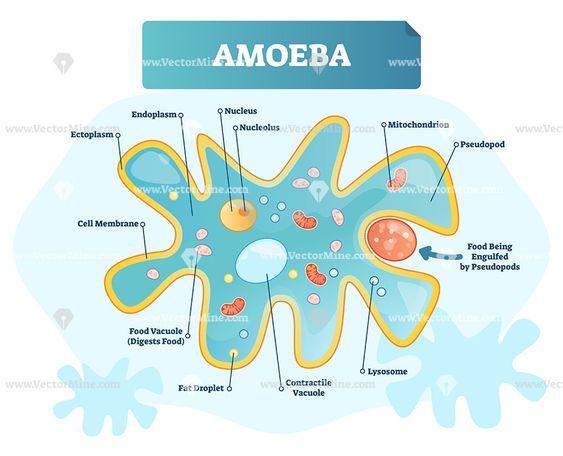 Amoeba Biological Labeled Vector Illustration Diagram Chemistry Education Science Diagrams Science Biology