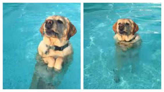 Ce labrador amateur de piscines a une réaction incroyable lorsqu'il réalise qu'il a pied dans l'eau.