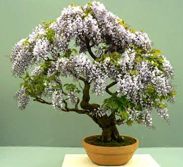 Maybe a wisteria bonsai is the solution for wisteria longing....