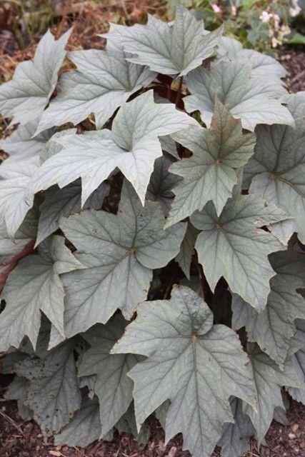 Begonia sp. 'Pewterware' (Pewterware Begonia) from Plant Delight's Nursery:
