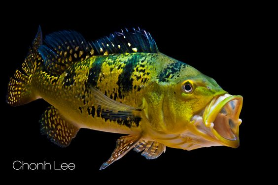 american cichlid kelberi peacock bass cool fishes pinterest peacocks animals and. Black Bedroom Furniture Sets. Home Design Ideas
