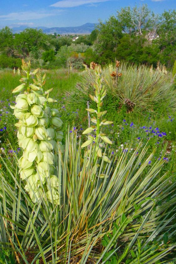 Hunger and Thirst: Wild About - Yucca Flowers