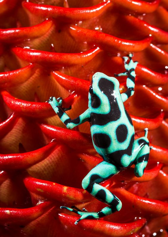 Green and Black Poison Dart Frog on wild ginger, Costa Rica | Wildlife
