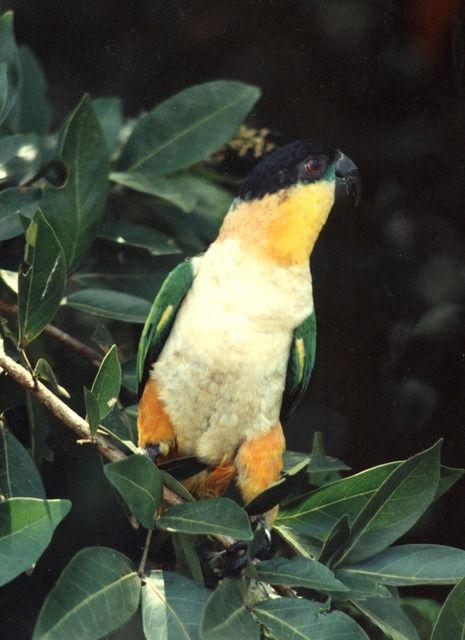 Foto marianinha-de-cabeça-preta (Pionites melanocephalus) por Robson Czaban | Wiki Aves - A Enciclopédia das Aves do Brasil
