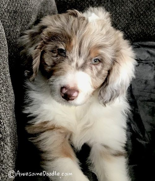 Available Aussie Doodle Puppies In 2020 Aussiedoodle Puppies Aussie Doodle Puppy
