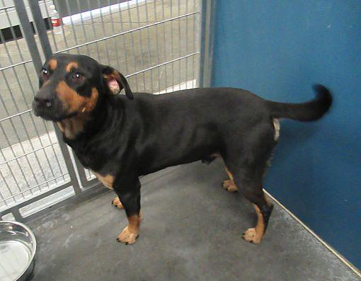 Henderson Nc Rottweiler Meet Roxi A Dog For Adoption Rottweiler Dog Adoption Rottweiler Mix