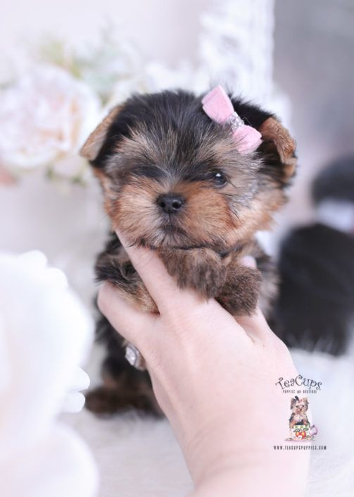 Yorkie Puppy For Sale Teacup Puppies 404 Yorkie Cute Puppies Teacup Yorkie For Sale