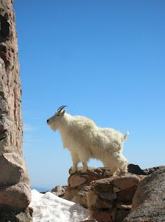 Moutain Goat, top of Mt. Evans, Colorado, photo taken by me!