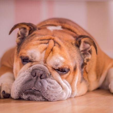 Discover The Dignified Bulldog Dog Temperament Bulldogslover