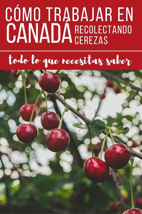 Todo lo que necesitas saber para trabajar en las granjas de British Colúmbia recolectando cerezas o cualquier otra fruta.: