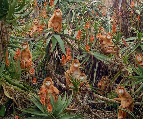 Рыжие обезьяны