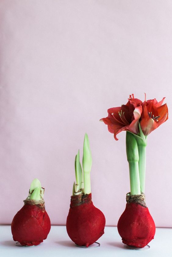 The perfect low maintenance plant wax amaryllis bulbs for Bulbes amaryllis conservation