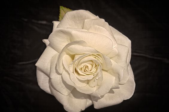 Sugar Moon White Rose