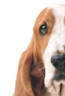 Link to Basset Rescue organizations. ALL the dogs in our family are rescue dogs... and total loves!