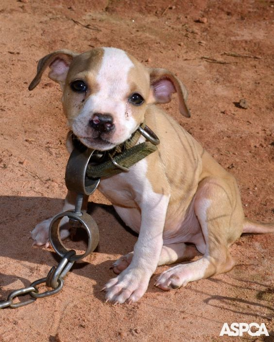 persuasion speech on pitbull Persuasive speech do you have a dog does anyone have a pit bull well i happy to say that i am a proud owner of 2 blue pits their names are diamond.