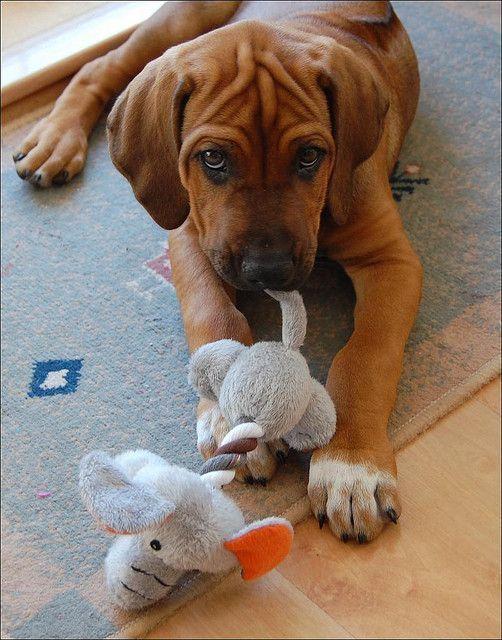 Rhodesian Ridgeback Puppy Dogs Pinterest Toys