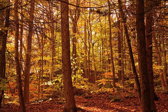 Golden Autumn Forest Photograph  - Golden Autumn Forest Fine Art Print $50 #autumn #photography #giftidea
