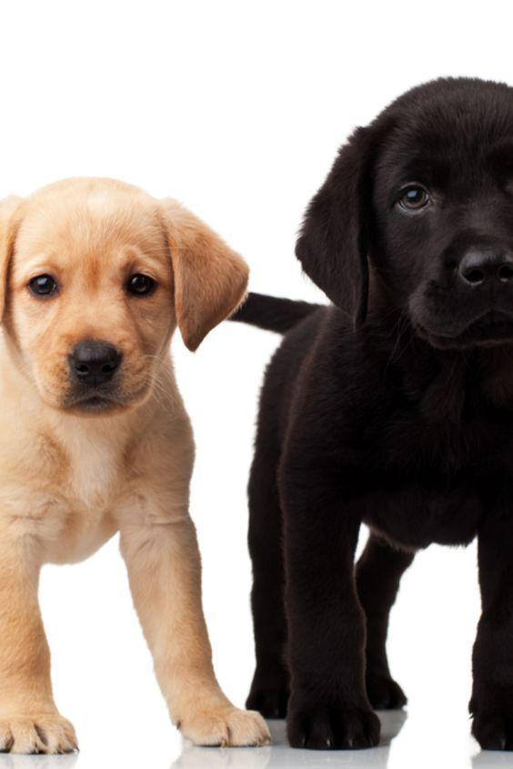 Cute Labrador Puppies Cute Labrador Puppies Cute Englishlabradorretriever Labrador Labrado In 2020 Labrador Retriever Cute Labrador Puppies Labrador Puppy