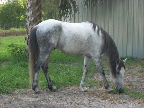 Florida Cracker Horse. One of the oldest American breeds