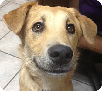 Max's Info...  Breed: Labrador Retriever Mix Color: Tan/Yellow/Fawn Age: Puppy  Size: Med. 26-60 lbs (12-27 kg) Sex: Male ID#: 1279    I am already neutered, housetrained, up to date with shots, good with kids, good with dogs, and good with cats.