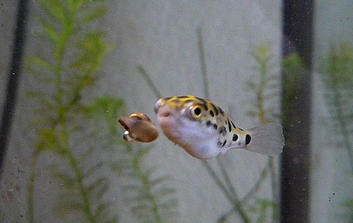 Pinterest the world s catalog of ideas for Fresh water puffer fish