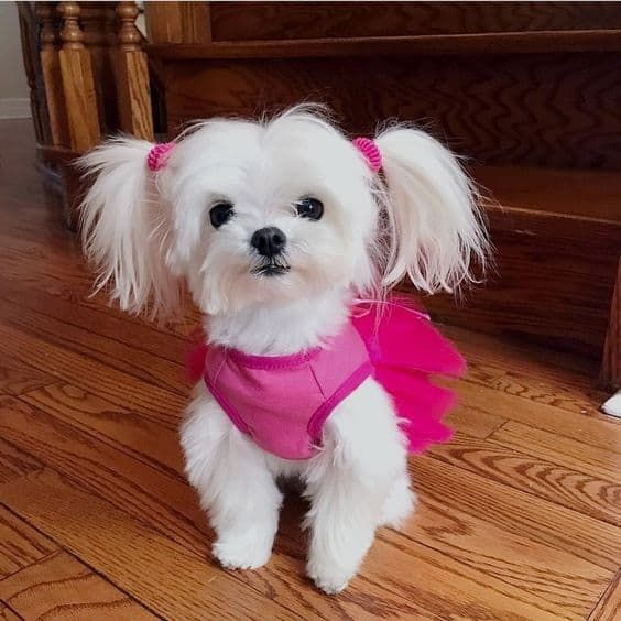 35 Cutest Maltese Haircuts For Your Little Puppy Hairstylecamp Maltese Dogs Maltese Puppy Cute Puppies