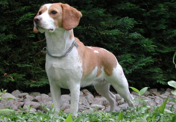 Why Beagles are Used for Pharmaceutical Testing and What You Can Do About It!