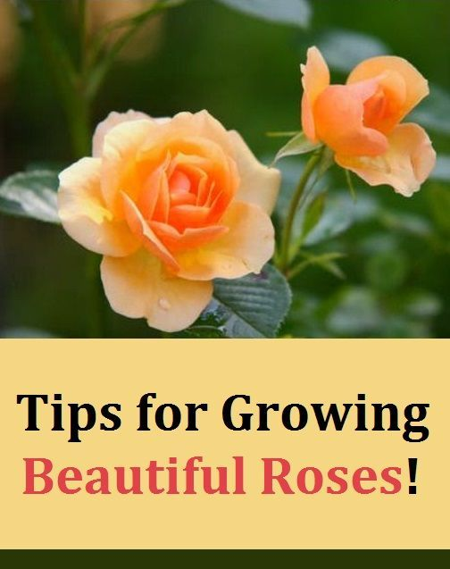 Tips For Growing Beautiful Roses Beautiful Roses Rose Growing