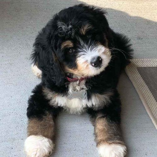 Mini Bernedoodle Puppies In 2020 Bernedoodle Puppy Mini Bernedoodle Bernedoodle