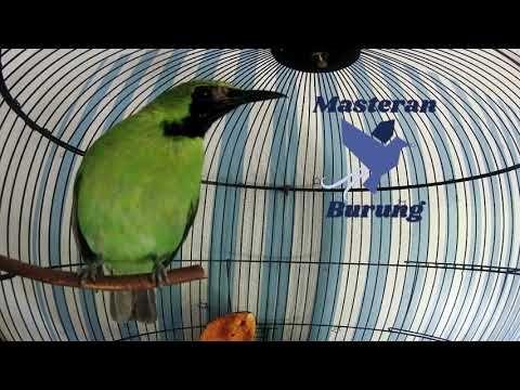 Burung Cucak Ijo Burung