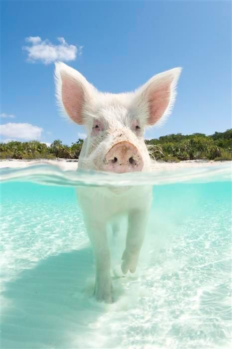 Swim with pigs in the Bahamas.