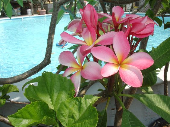 Plumeria's are one of my favorite plants, I love to put them around my pool & have my own tropical getaway