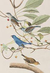 Animals Paintings - Indigo Bird by John James Audubon