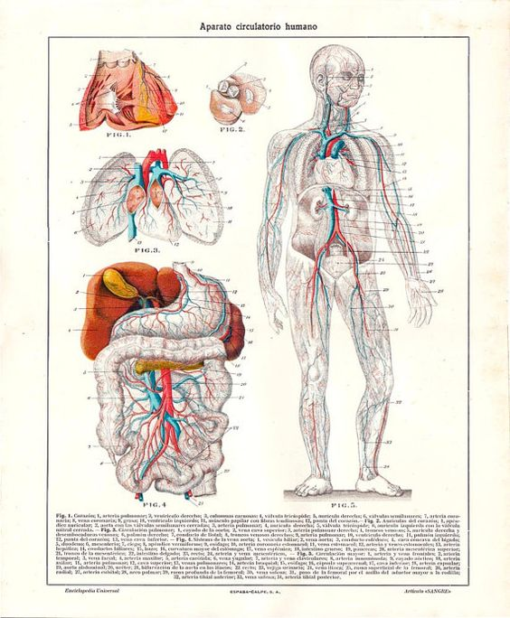 Blood Circulation Human Anatomy Plate 1923 Color  $18.00