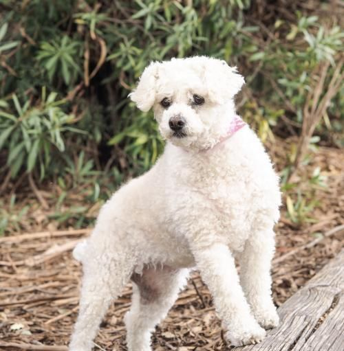 Adopt Cake Pop On Poodle Mix Dogs Pet Adoption Pet Search