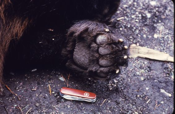 Grizzly bear paw in relation to swiss army knife. No contest, I think I'd get a really big fun than tackle him with any knife if given a choice.