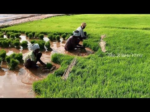 Step By Step Growing Rice Paddy Farming Paddy Rice Cultivation In Tamil Growing Rice Rice Paddy Rice