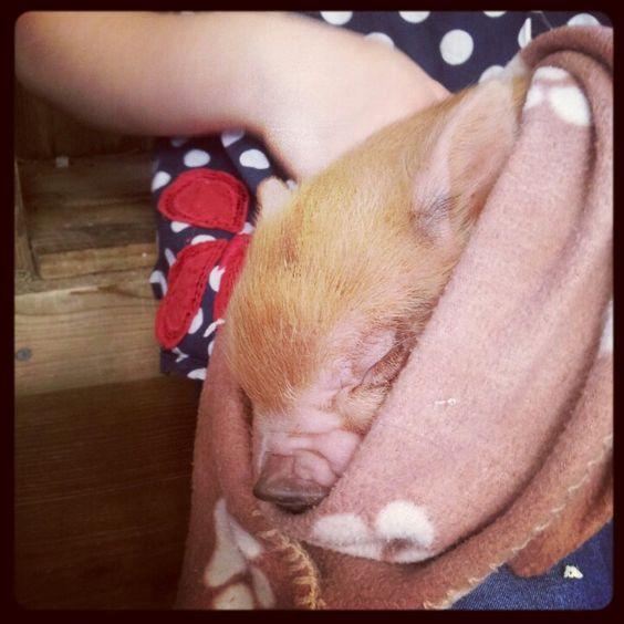 How cute! Baby pig sleeping at Pennywell Farm