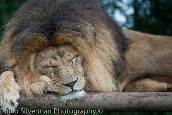 Lion taking a cat nap