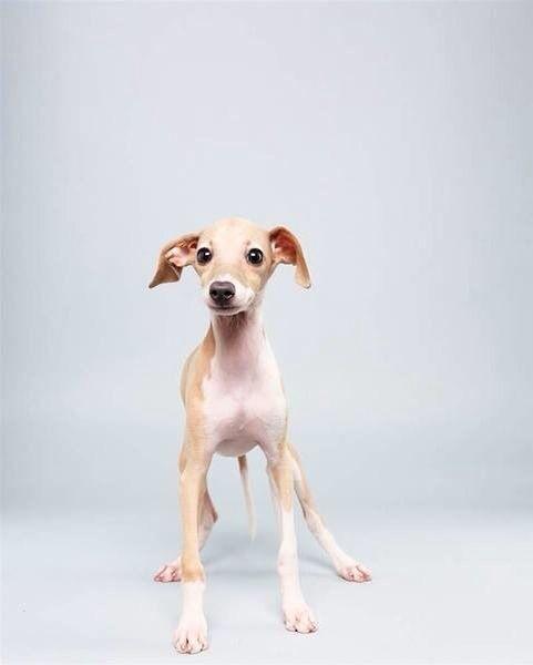 Italian Greyhound:
